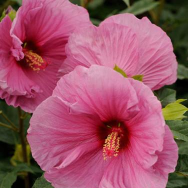 Hibiscus - 'Fantasia'