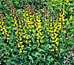 Baptisia - Decadence 'Lemon Meringue'.Jp