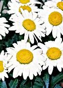 Leucanthemum_Snowcap_Bloom_.jpg