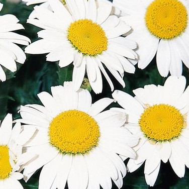 Leucanthemum - 'Snowcap'