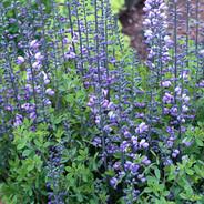 Baptisia - 'Purple Smoke'