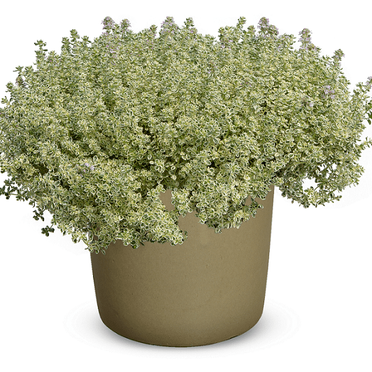 Thyme - Sparkling Bright (Org.)