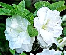 Azalea - 'White Rosebud'.jpg