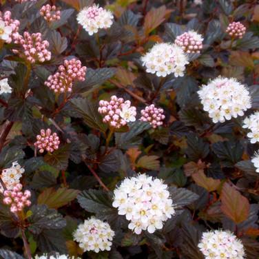 Physocarpus -'Seward'