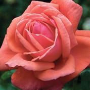 Rose - FragrantCloud.jpg