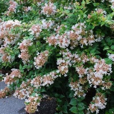 Abelia - 'Rose Creek'
