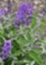 Buddleja - 'Blue Heaven'.jpg