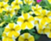 Calibrachoa-Lemon-Slice.jpg