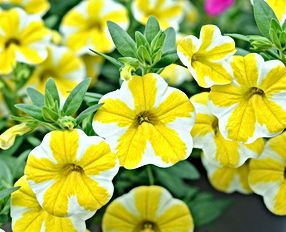 Calibrachoa-Lemon-Slice.jpg