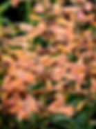 Agastache - aurantiaca - 'Tango'.jpg
