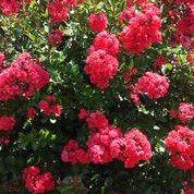 Lagerstroemia -  'Red  Magic'