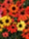 Echinacea_cheyenne_spirit.jpg