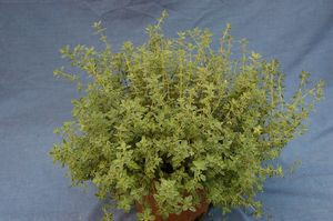 Thyme - French (Org.)