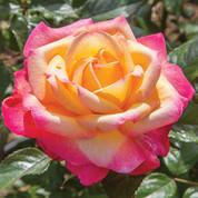 Rosa 'Enchanted Peace.jpg