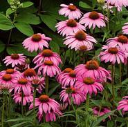 Echinacea - 'Magnus'