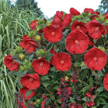Hibiscus - 'Cranberry Crush'