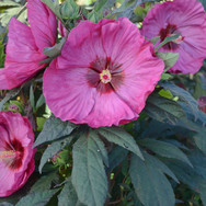 Hibiscus - 'Berry Awesome'