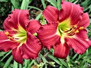 Hemerocallis - Ruby Stella.jpg
