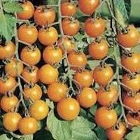 Tomato - Sungold.jpg