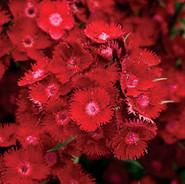 Dianthus - 'Rockin' Red'