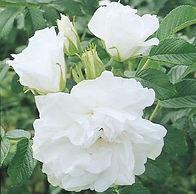 Rose - Blanc Double de Coubert.jpg