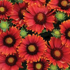 Gaillardia - 'Arizona Red Shades'jpg
