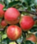 B & B - Gala Apple.jpg