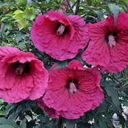 Hibiscus - 'Plum Fantasy'