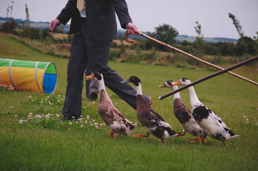 wedding guests herding ducks at Cambridgeshire wedding