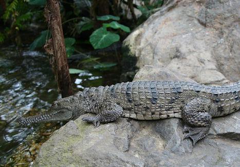 alligator enclosure.jpg