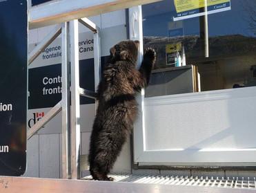 Медвежонок-нелегал задержан на канадской границе