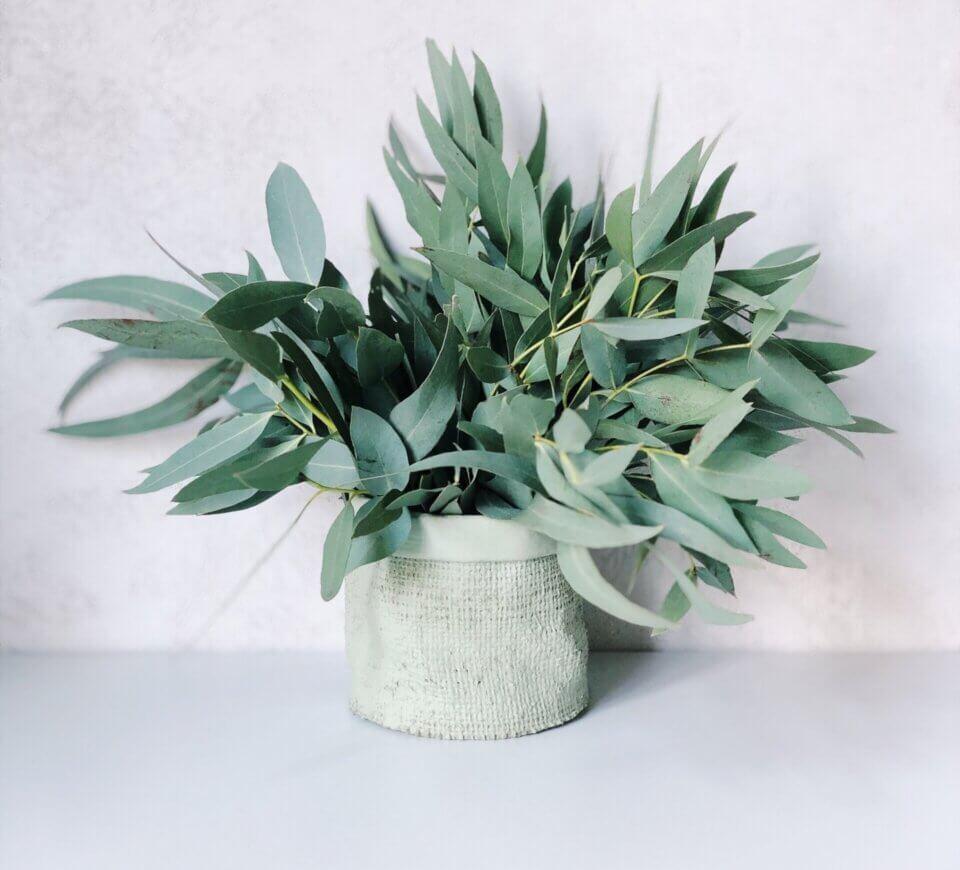 eucalyptusplantindoors