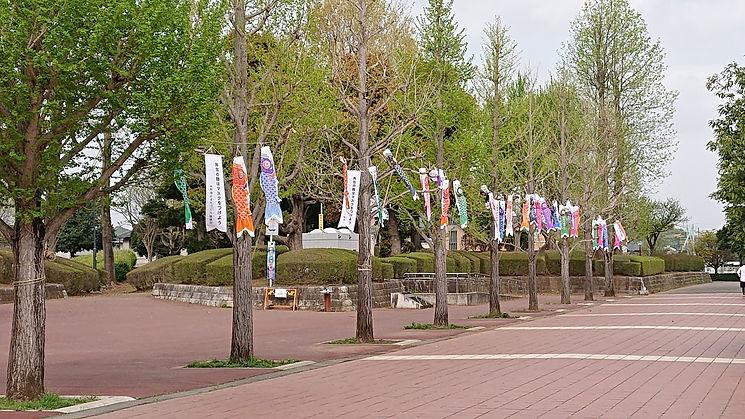 松ヶ丘公園の銀杏並木への鯉幟.JPG