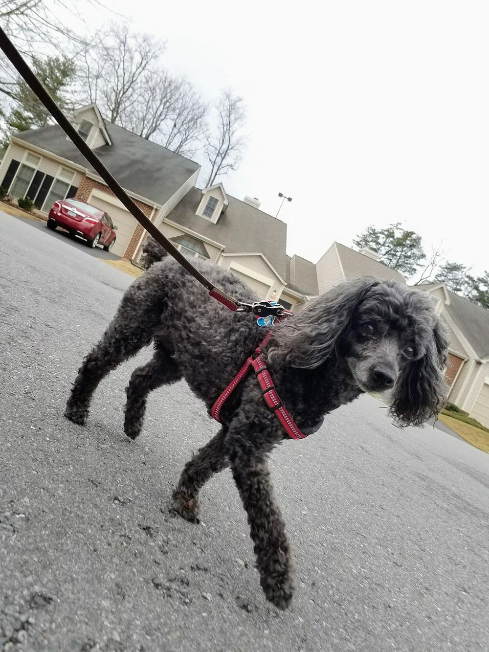 Senior dog on a walk