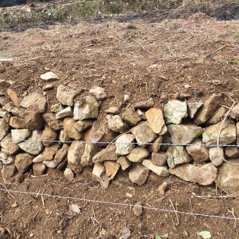先人が積み上げた石垣は、多くがイノシシに崩されています。農園チームの顧問の指導のもと、みんなで積みました。こうして麦や粟が育つ畑ができました