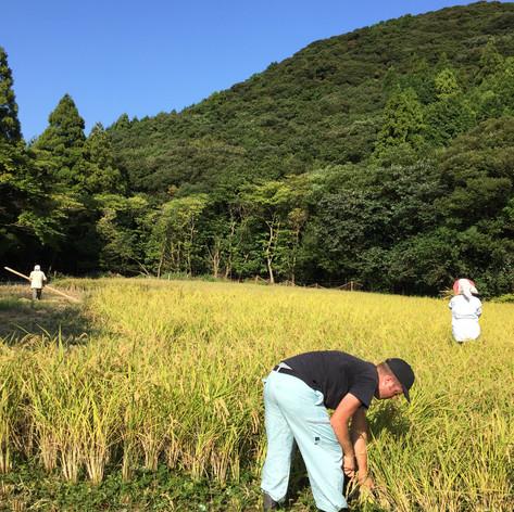 稲刈り風景。この年の米は豊作でしたが、さて今年はどうなるでしょう
