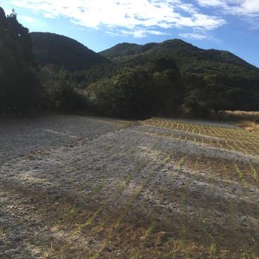 農園の麦畑。霜に覆われながら強く育っていきます