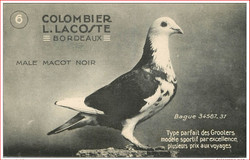 Male Macot Noir