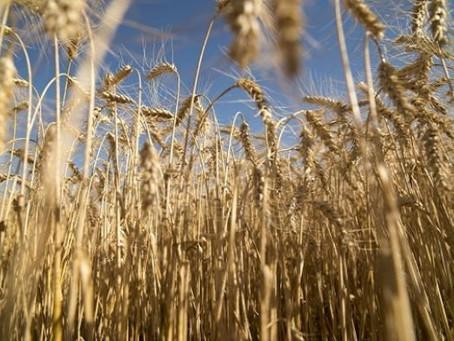 Enero fue el mes de mayores embarques de trigo en la historia argentina