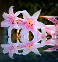 Water Lilies Reflected.png