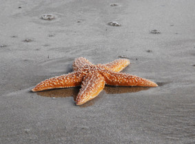 Sequencing of the common starfish genome