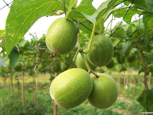 La fruta del monje, o Lo Han Guo , es un pequeño melón verde originario del sur de China que lleva el nombre de los monjes que lo cultivaron por primera vez hace 8 siglos