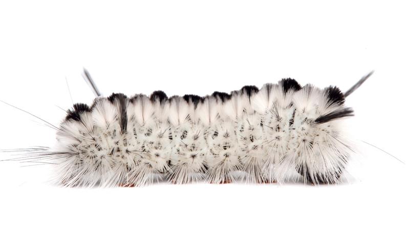 Lophocampa caryae  •  Hickory Tussock