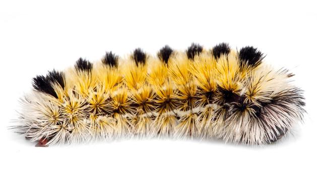 Ctenuchina Tiger Moths