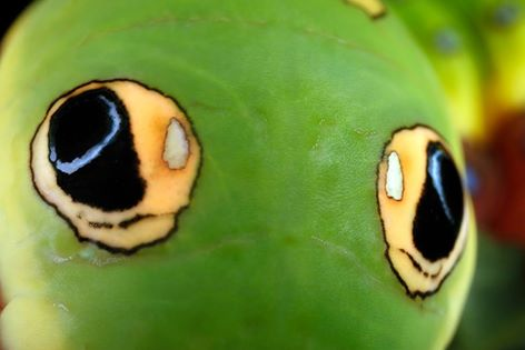 Spicebush Swallowtail False Eyes