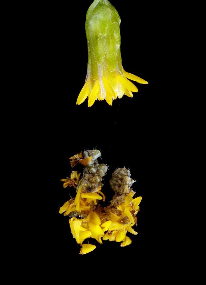 Hanging off Goldenrod Flower
