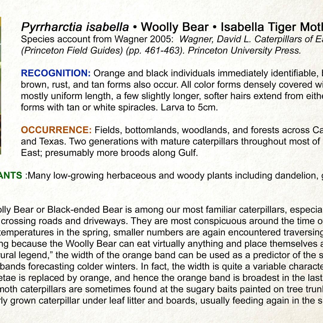 Pyrrharctia isabella • Isabella Tiger • Woollybear