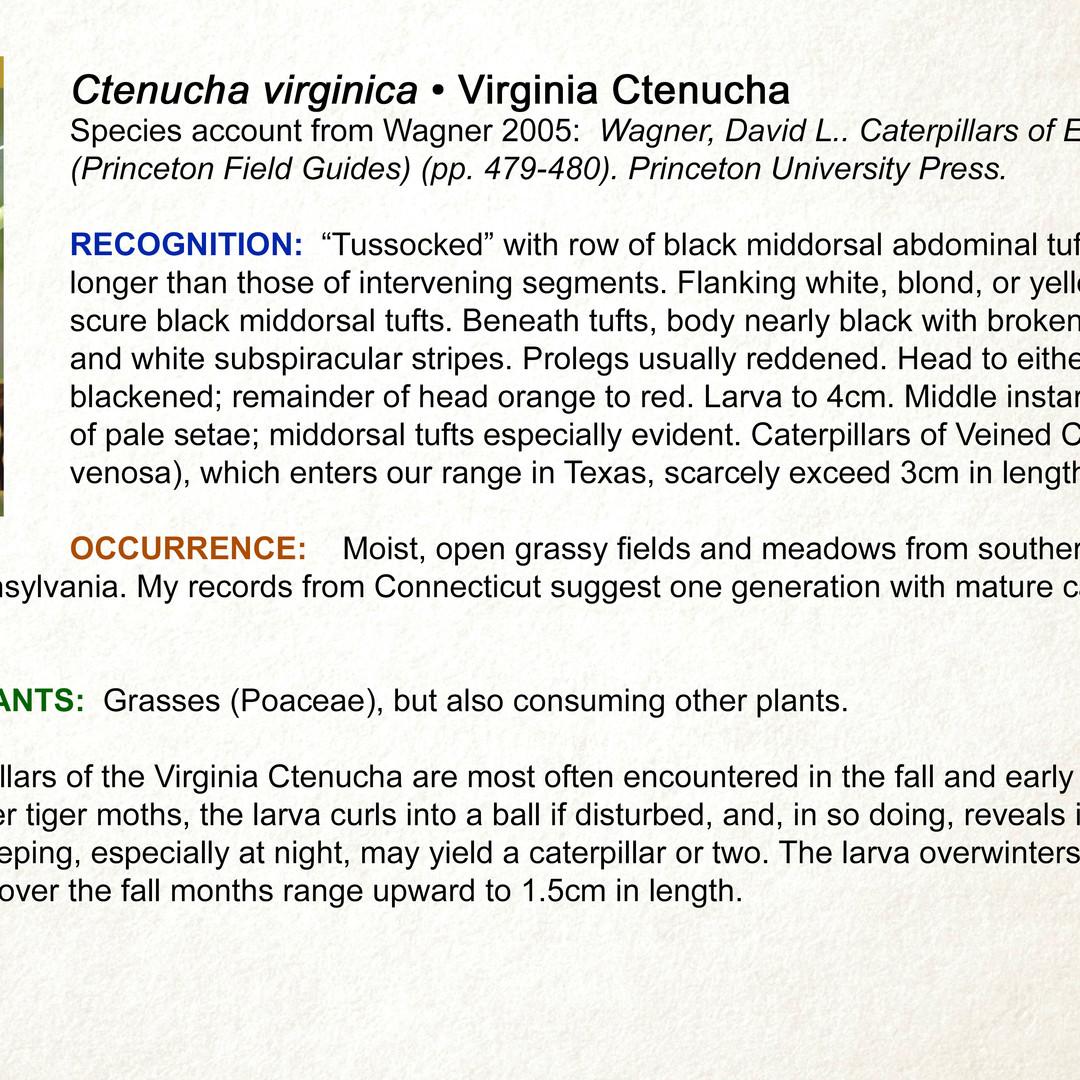 Ctenucha virginica •  Virginia Ctenucha