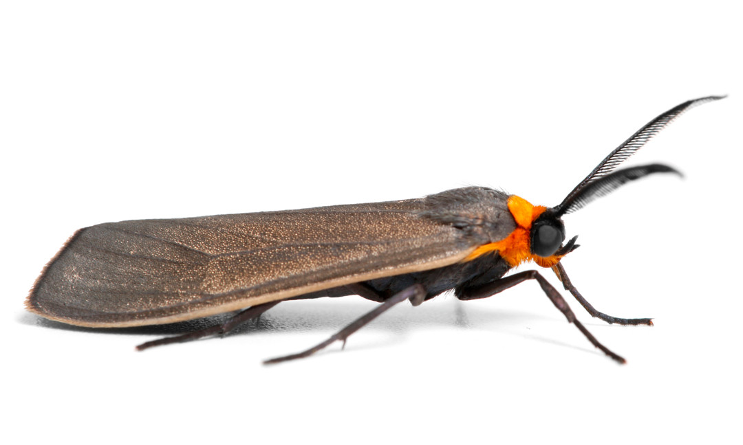 Cisseps fulvicollis  •  Yellow-collared Scape Moth