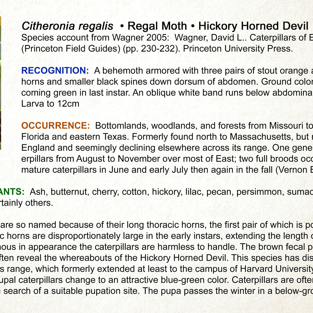 Citheronia regalis • Regal Moth • Hickory Horned Devil